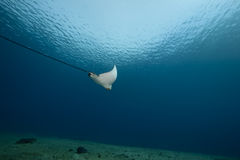Spotted eagle ray and ocean Royalty Free Stock Photo