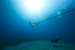 Spotted eagle ray and ocean stock images