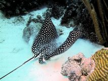 Spotted Eagle Ray royalty free stock images