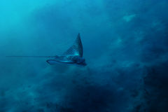 Spotted Eagle ray in Red Sea. A spotted Eagle Ray in the Red Sea Stock Photo