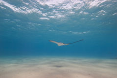 Spotted eagle ray in shallow water. Royalty Free Stock Photography