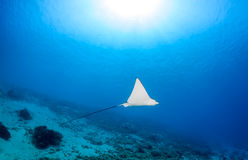Spotted Eagle Ray and sunbeams Royalty Free Stock Photos