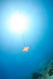 Spotted Eagle Ray and sunbeams Stock Image