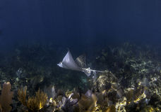 Spotted Eagle Ray swimming above coral reef Stock Images