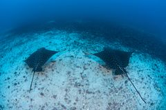 Spotted Eagle Rays in Deep Water stock photo