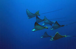 Spotted Eagle Rays. Seven Spotted Eagle Rays (Aetobatus Narinari) in the Blue, Cozumel, Mexico Royalty Free Stock Image