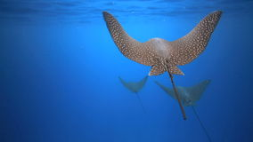 Spotted eagle rays swimming underwater stock footage