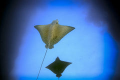 Spotted eagles rays underwater Galapagos Islands. Spotted eagle rays swimming underwater in the Galapagos Islands Royalty Free Stock Photo