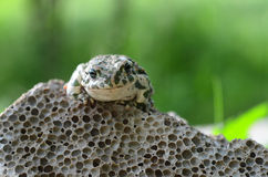 Spotted an earthen toad sitting on a stone, close-up. Bufo bufo. Green toad Bufo viridis Photo Macro royalty free stock images
