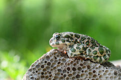 Spotted an earthen toad sitting on a stone, close-up. Bufo bufo. Green toad Bufo viridis Photo Macro stock image