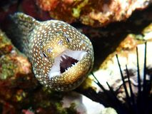 Eel Shows Open Mouth Full of Teeth in Maui Hawaii Royalty Free Stock Photography