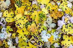 Spotted Fall Leaves. Royalty Free Stock Image