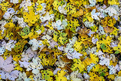 Spotted Fall Leaves. Stock Photos
