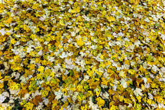 Spotted Fall Leaves. Royalty Free Stock Photography