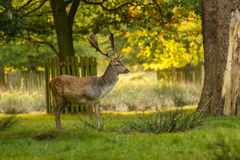 Spotted Fallow Deer with antlers in fresh Autumn woodland. Stock Image