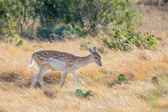 Spotted Fallow Deer Fawn. Young wild South Texas spotted fallow deer fawn Royalty Free Stock Photos