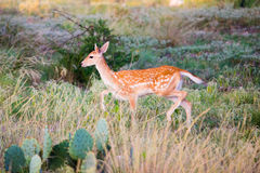 Spotted Fallow Fawn Stock Photos