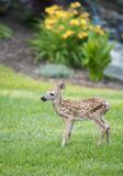 Spotted Fawn Stock Image