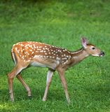 Spotted fawn Stock Images