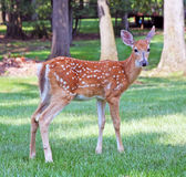 Spotted Fawn Royalty Free Stock Images