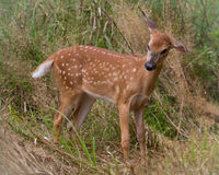Spotted Fawn Bothered by Horseflys Royalty Free Stock Photography
