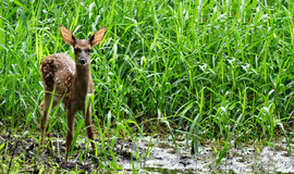 Spotted Fawn in High Grass Royalty Free Stock Photo