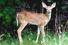 Spotted fawn in summer stock photography