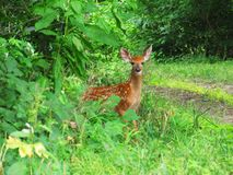 Spotted fawn  Stock Photography