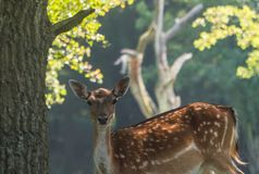 Spotted female fallow deer gazing at camera Stock Image