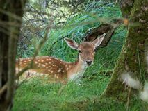Spotted female fallow deer gazing at camera Royalty Free Stock Images