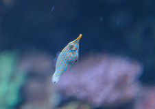 Spotted filefish, Oxymonacanthus longirostris Stock Image