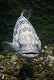 Spotted fish. With stiff upper lip Royalty Free Stock Photography