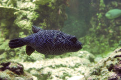 Spotted fish. A black fish with white spots Royalty Free Stock Photography