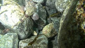 Spotted fish disguises on the rocks of the underwater Barents Sea. Diving on background of blue lagoon and wildlife in Arctic ocean stock footage