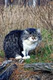 Spotted fluffy domestic cat sitting in the yard on the grass Stock Photography