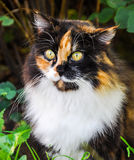 Spotted fluffy multicolor cat Stock Images