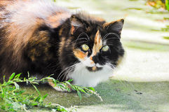 Spotted fluffy multicolor cat Stock Photos
