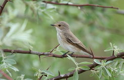 Spotted flycatcher Stock Photo