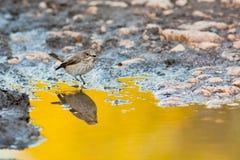 Spotted Flycatcher Stock Photos