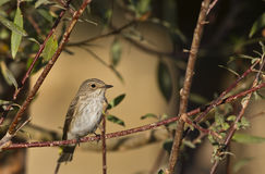 Spotted Flycatcher. Lark is perching on a tree branch stock photo
