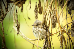 Spotted flycatcher Royalty Free Stock Photos
