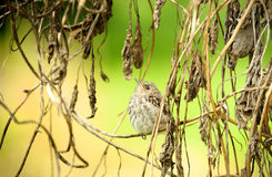 Spotted flycatcher Stock Photos