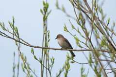 Spotted Flycatcher. On a branch in spring evening Royalty Free Stock Photos
