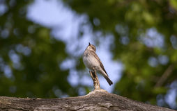 Spotted Flycatcher enjoy ray of sunshine Stock Image