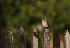 Spotted flycatcher on fence Royalty Free Stock Photography