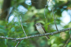Spotted Flycatcher. And a green forest background Royalty Free Stock Image