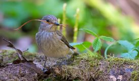 Spotted Flycatcher with a little stick in its beak for nest building royalty free stock photo