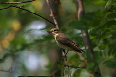 Spotted Flycatcher, Muscicapa striata Royalty Free Stock Images