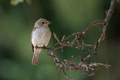 Spotted flycatcher, Muscicapa striata Stock Photos
