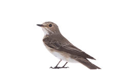 Spotted Flycatcher. Muscicapa striata isolated on a white background Stock Images